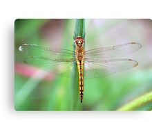 Gold-Winged Skimmer Dragonfly II Canvas Print