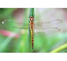 Gold-Winged Skimmer Dragonfly II Photographic Print
