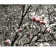 a splash of magnolia Photographic Print