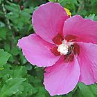 Hibiscus in Durnstein by Graeme  Hyde