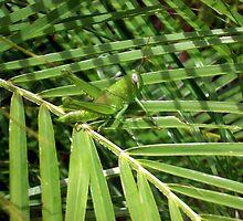 grass hopper  by gianni99