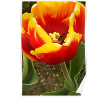 Fire Tulip Poster