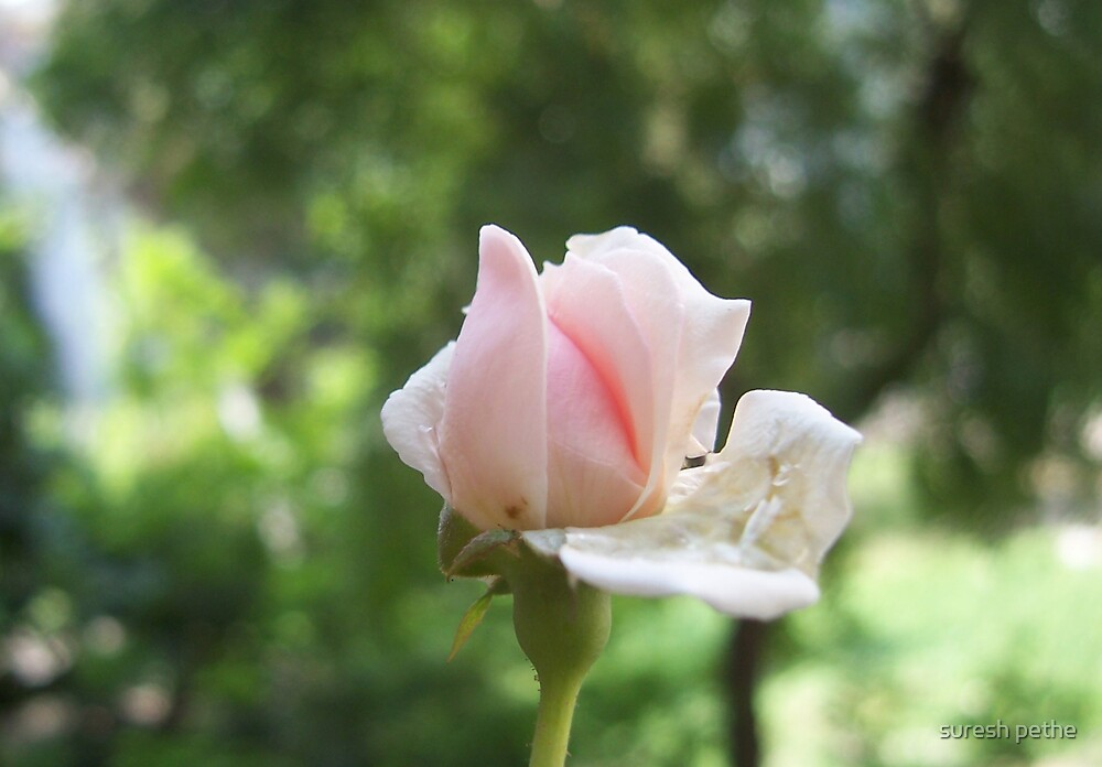 a rose bud by suresh pethe