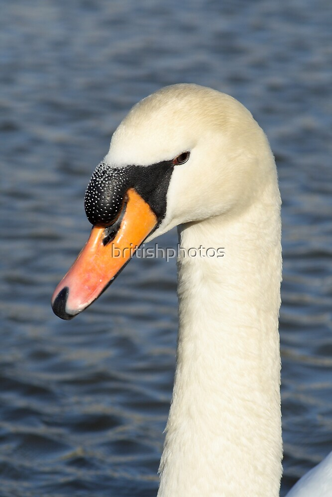White swan close up. by britishphotos