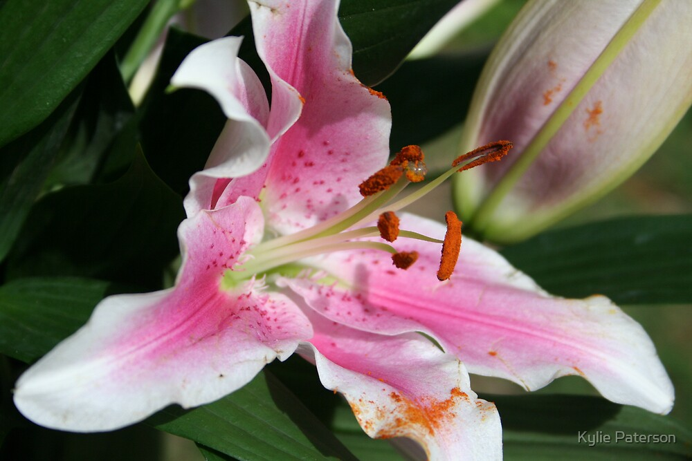 Lillies by Kylie Paterson