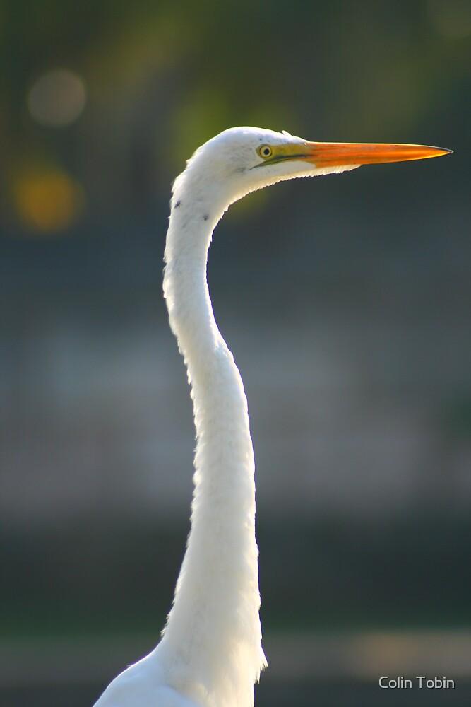 Great Egret by Colin Tobin