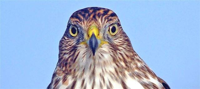 Cooper's Hawk by raptrlvr