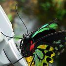 Cairns Birdwing Butterfly by margotk
