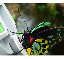 Cairns Birdwing Butterfly Photographic Print