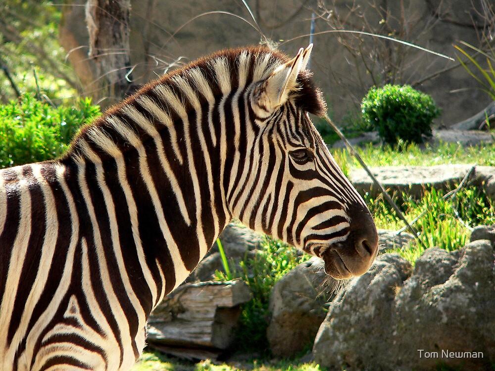 Zebra by Tom Newman