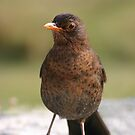 A cute blackbird. by britishphotos