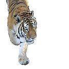 Tiger 1 by Cherax