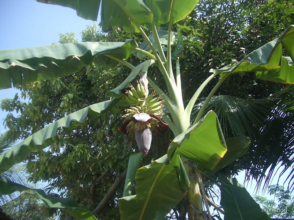 Banana tree by monsoon