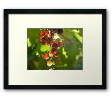 Grapes on the Vine Framed Print