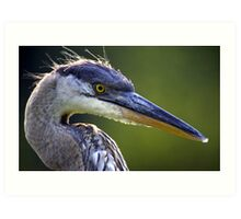 Great Blue Heron Head Shot Art Print