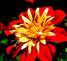 Dahlia - Bicolor Bronze Yellow - Fischer Flower by Brandon Marshall