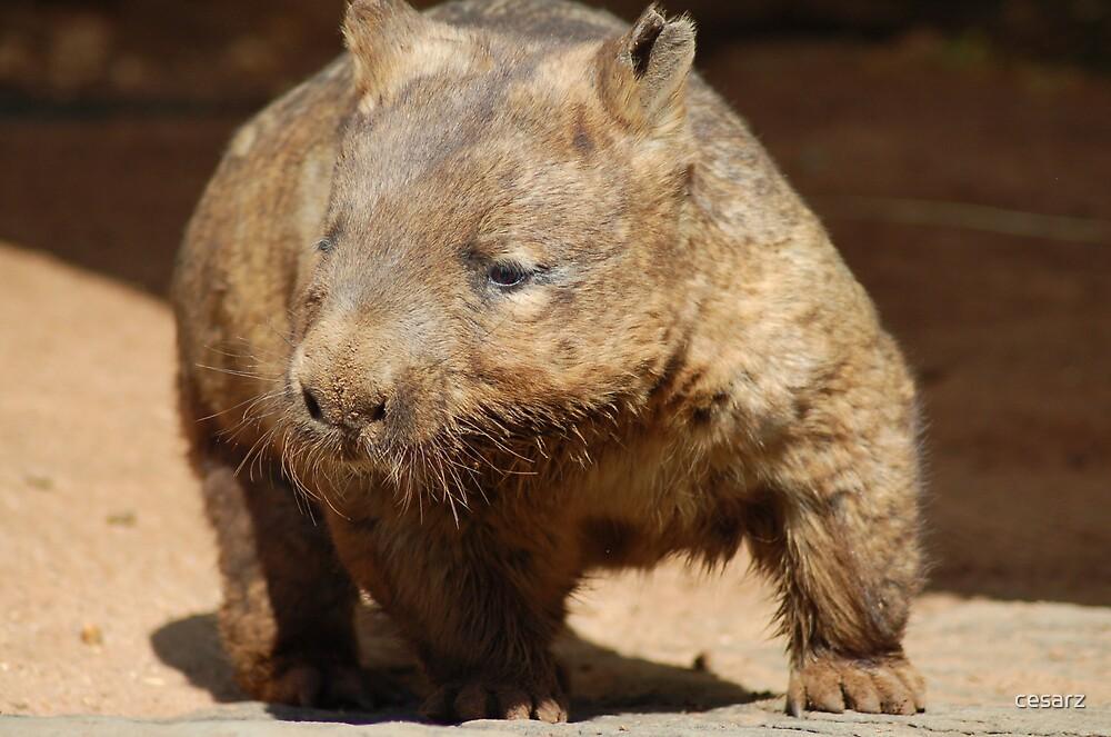 Wombat by cesarz