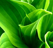 Hosta by cshphotos