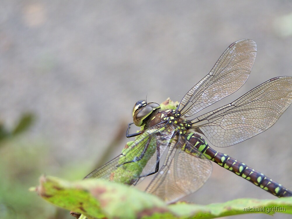 dragonfly up close  mill creek park washington by michael griffith