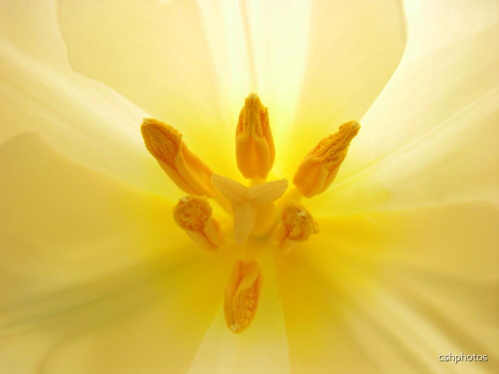Yellow Tulip Center by cshphotos