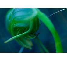 GREENHOOD ORCHID Photographic Print