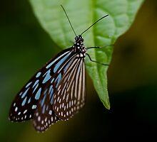 Black & Blue Butterfly on Leaf by Mark Snelson