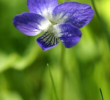 Wild Violet by kmlsphotos