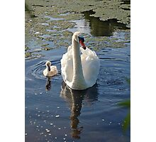 Magestic swans Photographic Print