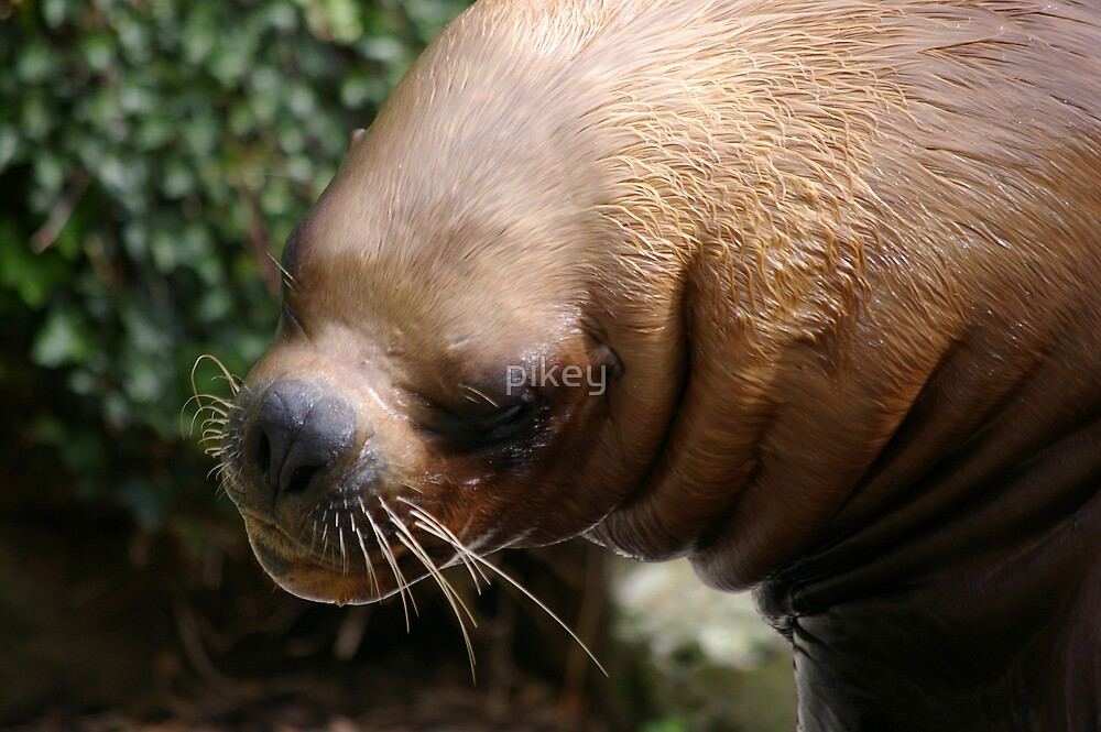 Sea-Lion by pikey