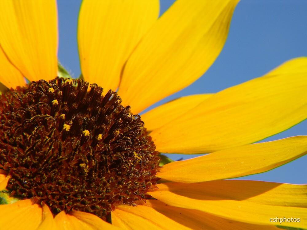 Yellow Sunflower by cshphotos