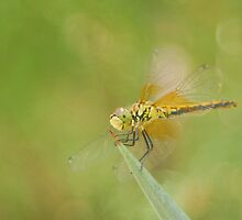 Happy Dragonfly by cshphotos