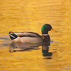 Mallard on Gold by cshphotos