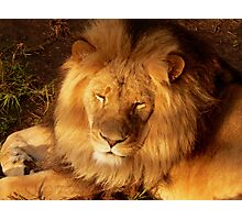 Sunset Lion Photographic Print