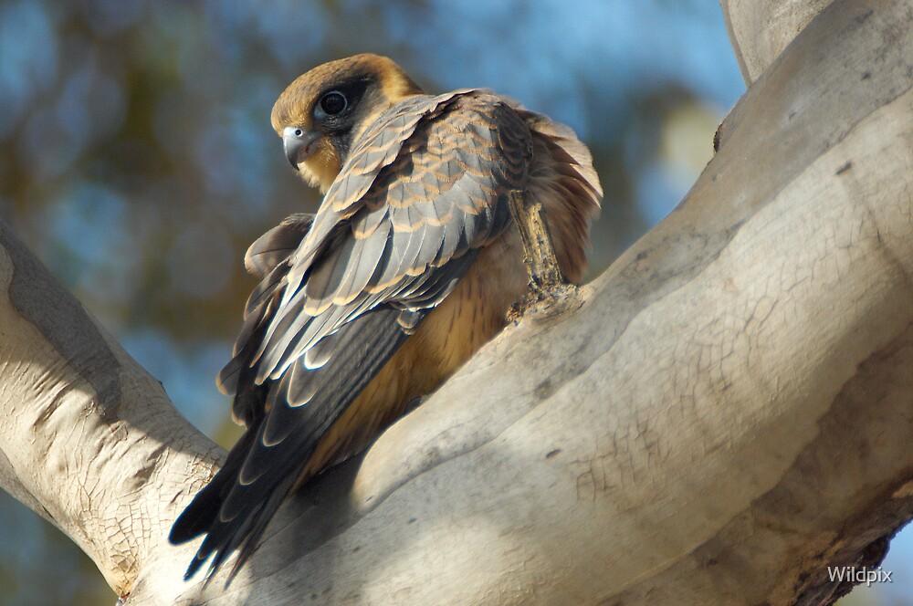 Juvenile Australian Hobby by Wildpix