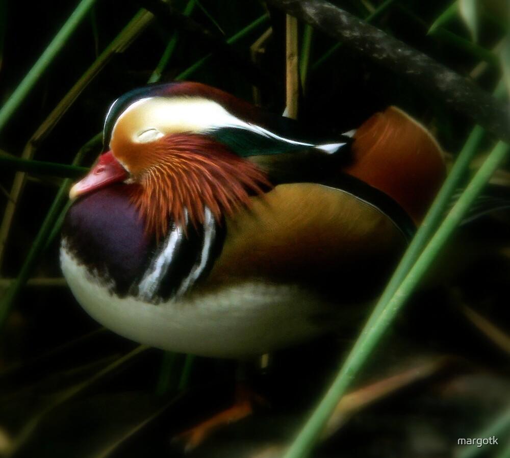 Sleepy Duck by margotk