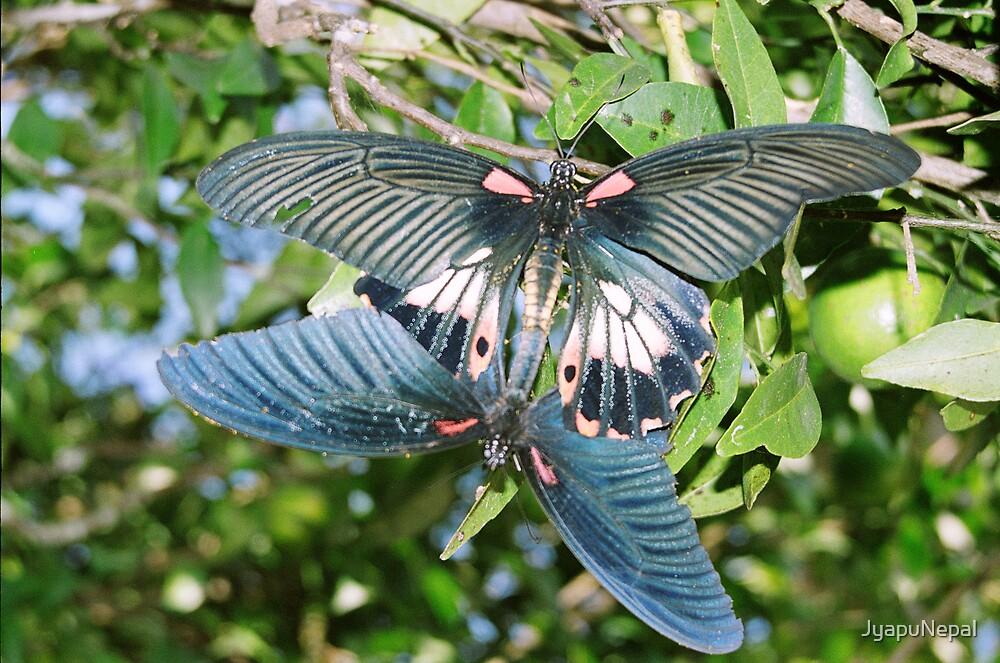 Butterfly Love by JyapuNepal