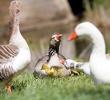 Mamma Duck by David Conte