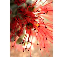 Spider Flower Photographic Print