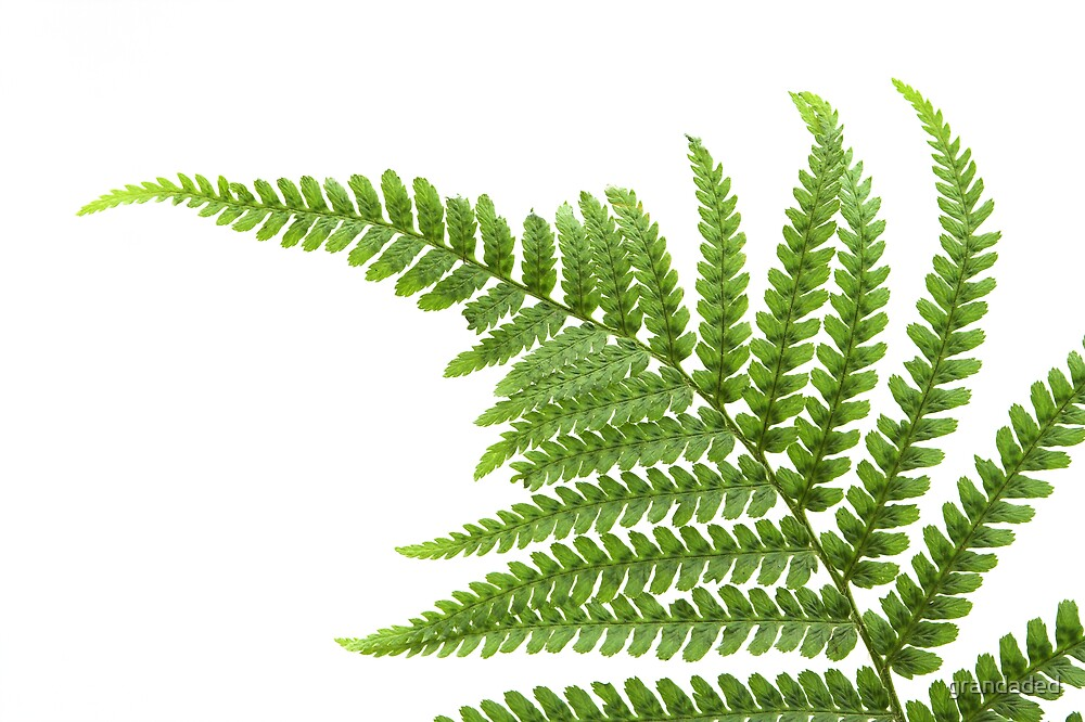 Fern Leaf by grandaded