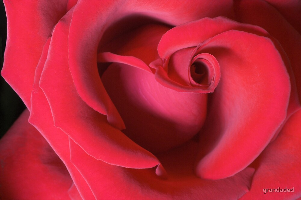 Red Rose by grandaded