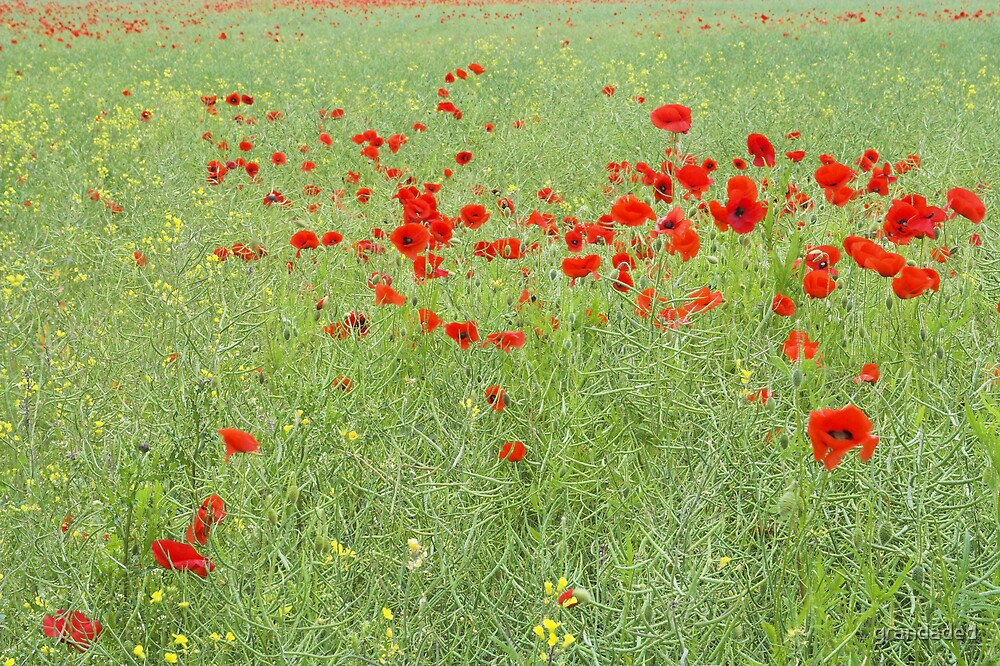 Wild Poppies by grandaded