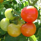 Tomatoes by Susy Rushing