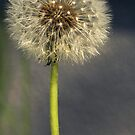 Seeded Dandelion by kmlsphotos