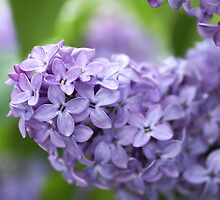 Purple Lilacs by kmlsphotos