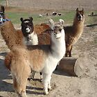 Llama's by Susy Rushing