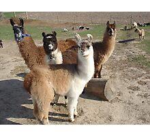Llama's Photographic Print