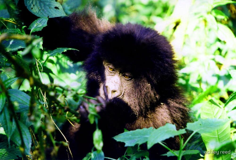 mountain gorilla by ashley reed