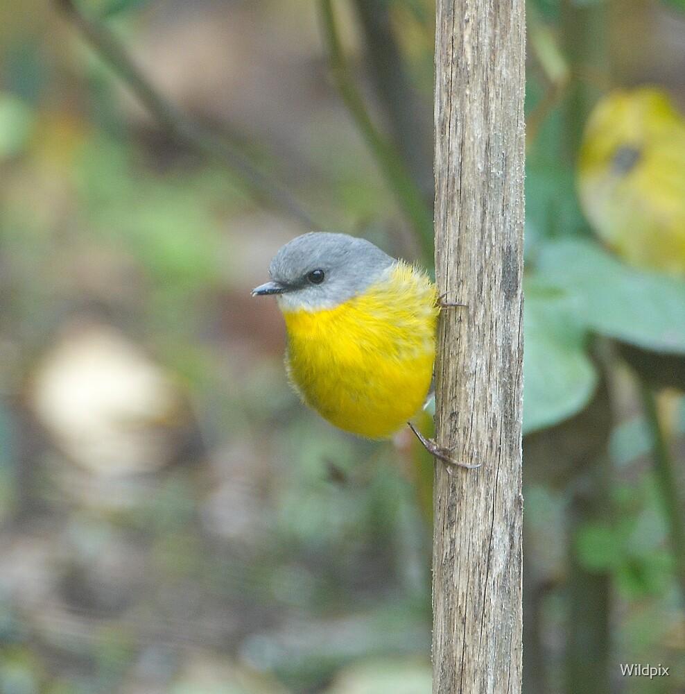 Eastern Yellow Robin by Wildpix