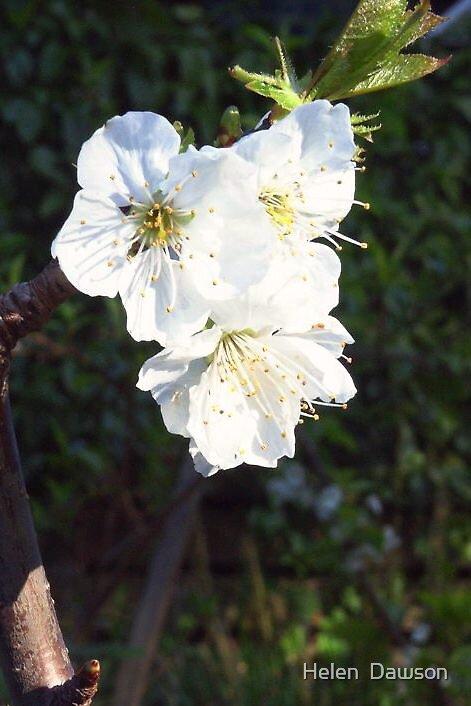 Cherry blossom close up by Helen  Dawson