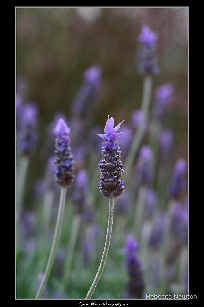Lavender Love by Rebecca Newton